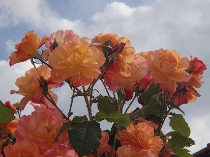 FOTKA - oranžové ruže v oblakoch