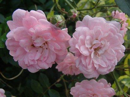 FOTKA - ružové kríčkové