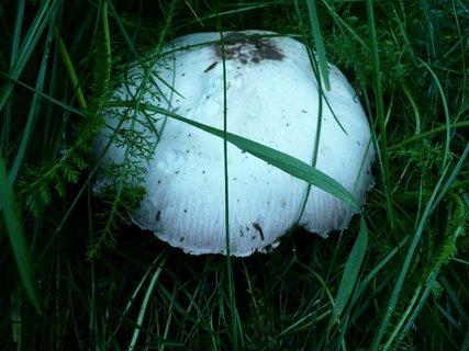 FOTKA - Žampion v trávě