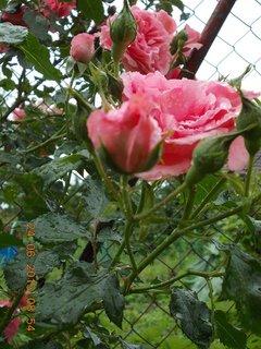 FOTKA - 23 - 24.6 - léto - 12 - růže