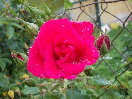 FOTKA - 23 - 24.6 - léto - 17 - růžička červená