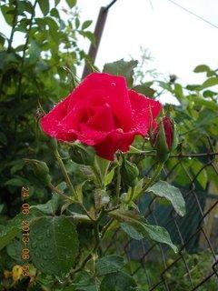 FOTKA - 23 - 24.6 - léto - 18 - růžička červená