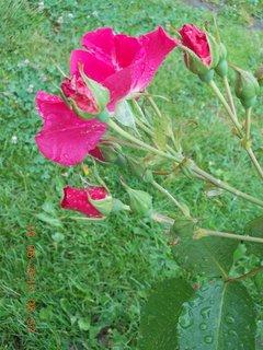 FOTKA - 23 - 24.6 - léto - 20 - růžička červená