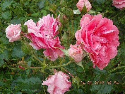 FOTKA - 23 - 24.6 - léto - 21 - růže růžové