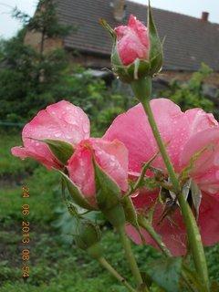 FOTKA - 23 - 24.6 - léto - 23 - růže růžová - poupě