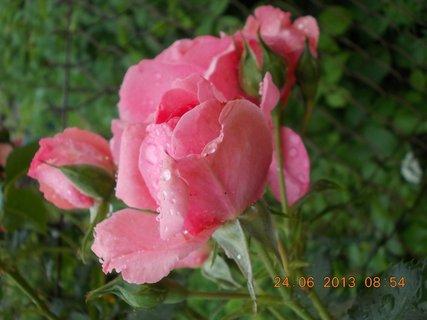 FOTKA - 23 - 24.6 - léto - 24 - růže růžová - poupata