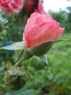 FOTKA - 23 - 24.6 - léto - 26 - růže růžová - poupata
