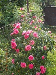 FOTKA - 22.června - 22 - keř je samý květ