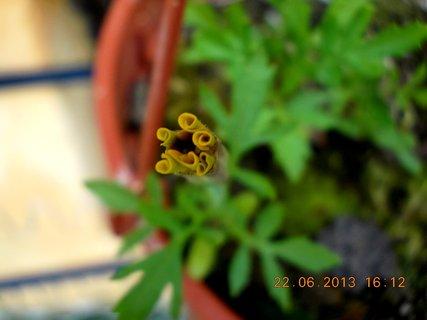 FOTKA - 22.června - 24 - poupě v květináči