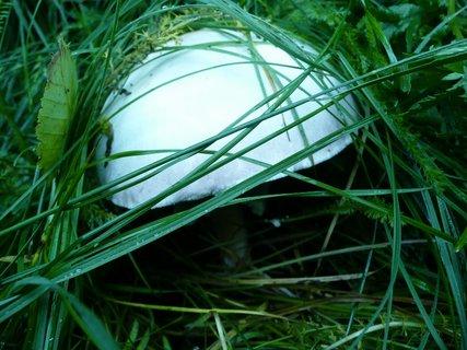 FOTKA - Žampion v trávě 1