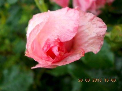 FOTKA - 24-26. června - 23 - jsem krásné poupátko