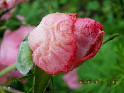 FOTKA - 24-26. června - 24 - jsem krásné poupátko