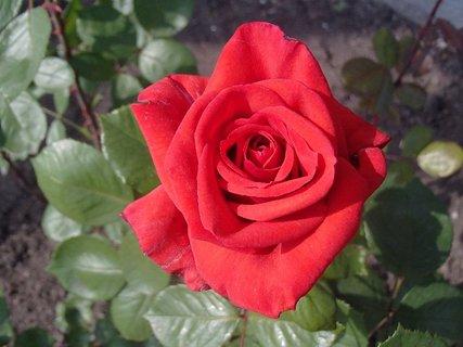 FOTKA - osamotená červená