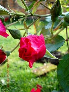 FOTKA - 27. června - 7 - poupě růže