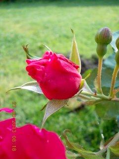 FOTKA - 27. června - 8 - poupě růže