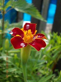 FOTKA - 27. června - 22 - květ Afrikánu