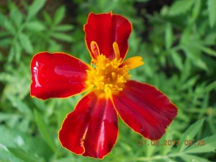 FOTKA - 27. června - 23 - květ Afrikánu
