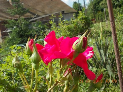 FOTKA - 22 + 23. červen -  11 - červené růže pnoucí