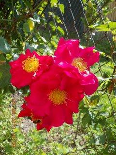 FOTKA - 22 + 23. červen -  12 - červené růže pnoucí