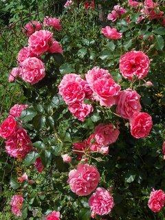 FOTKA - 22 + 23. červen -  15 - růžová krása růží