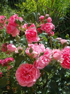 FOTKA - 22 + 23. červen -  16 - růžová krása růží