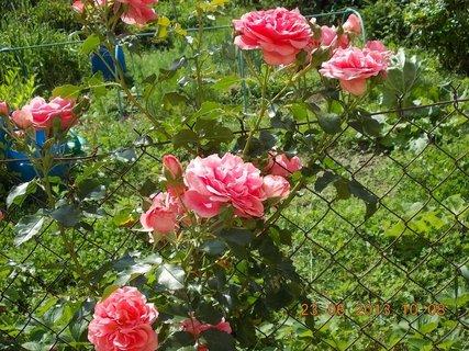 FOTKA - 22 + 23. červen -  17 - růžová krása růží