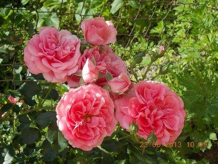 FOTKA - 22 + 23. červen -  18 - růžová krása růží