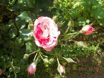 FOTKA - 23 - 23.6 - léto - 19 - růžička červená