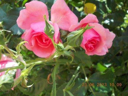 FOTKA - 22 + 23. červen -  20 - růžová krása růží