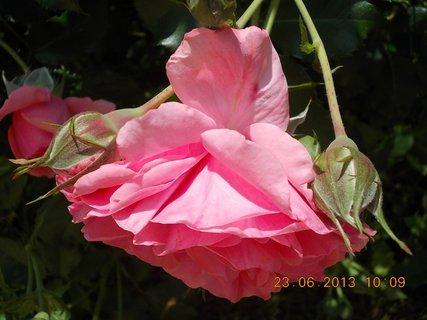FOTKA - 22 + 23. červen -  21 - růžová krása růží