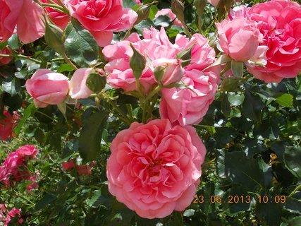 FOTKA - 22 + 23. červen -  22 - růžová krása růží