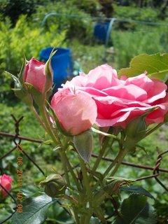 FOTKA - 22 + 23. červen -  24 - růžová krása růží
