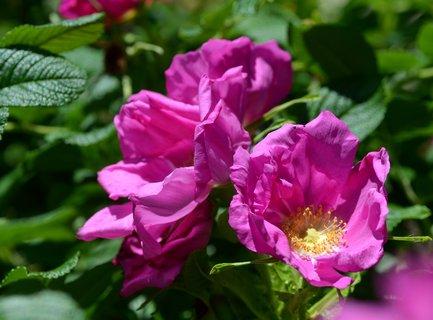 FOTKA - Šípková růže