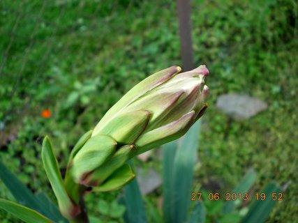 FOTKA - 27+28. červen - 4 - poupě Juky