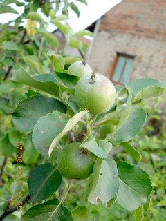 FOTKA - 27+28. červen - 8 - jablíčka rostou, rostou, ale pomalu, zdá se mi