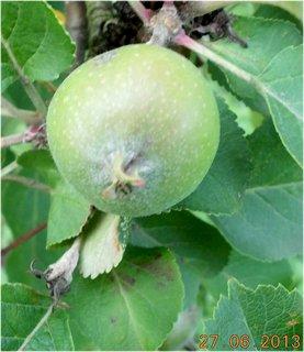 FOTKA - 27+28. červen - 11 - jablíčko zelené zatím