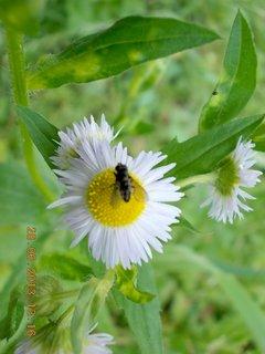 FOTKA - 27+28. červen - 20 - muška na kvítku plevele