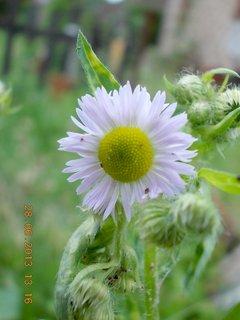 FOTKA - 27+28. červen - 24 - hezký plevelní kvítko
