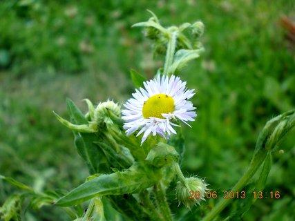 FOTKA - 27+28. červen - 25 - hezký plevelní kvítko