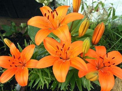 FOTKA - Zachráněné lilie před slimáky 2013
