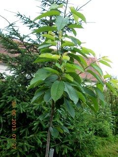 FOTKA - Neděle ráno po dešti - 19 - letošní třešniška, daří se jí