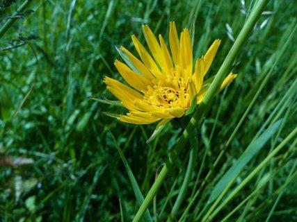 FOTKA - žlutá v trávě