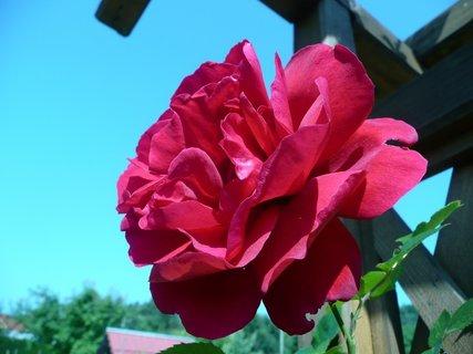 FOTKA - Pnoucí růže