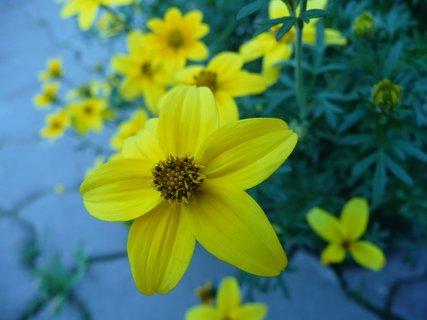 FOTKA - Žluté kvítky 13