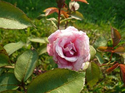 FOTKA - růže,,,