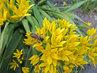 květy česneku s úderkou včelkou