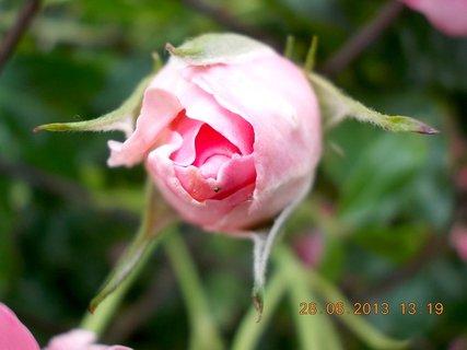 FOTKA - 28-30.6. - 2 - růžové poupátko