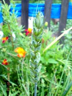 FOTKA - 28-30.6. - 11 - klásek - 2  pšenice vyrostl, co holubům vypadl zrnko ze zobáčku