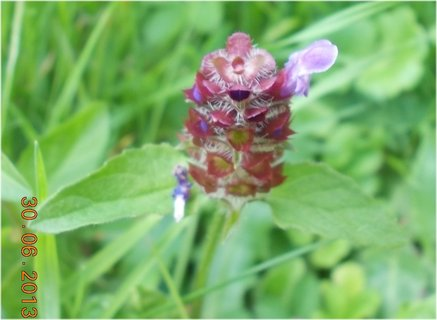 FOTKA - 28-30.6. - 14 - odkvetlý květ kopřivy