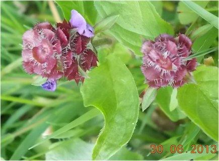 FOTKA - 28-30.6. - 15 - odkvetlý květ kopřivy